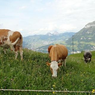 Nirgends haben Tiere eine schönere Weideaussicht als auf der Alp Weid in Seelisberg