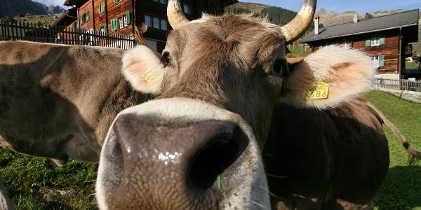 Auch Kühe treffen wir unterwegs