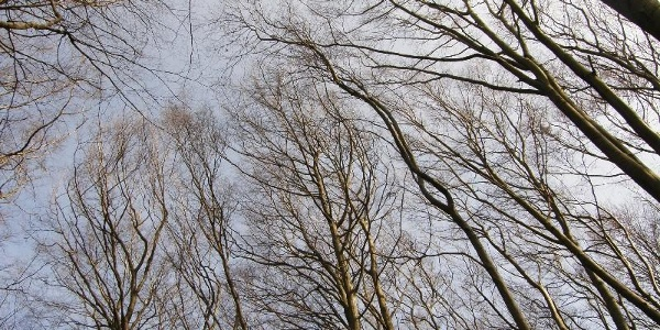 Buchenkronen im Herbst