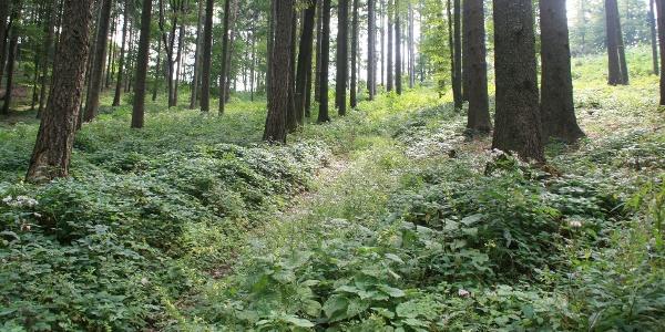 Wald bei Gschaid