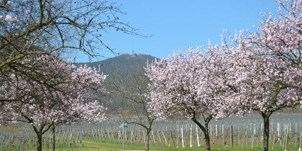 Blühende Mandelbäume bei Maikammer; im Hintergrund die Kalmit