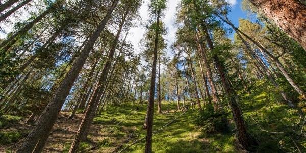 Im Aufstieg von Margun Grimmels zur Ofenpassstrasse durchqueren wir stattliche Lärchen-Waldföhrenbestände.