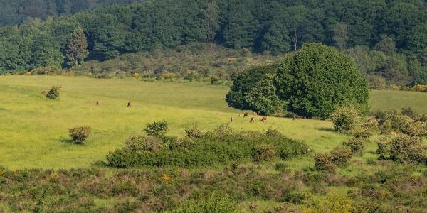 Rotwildbeobachtung auf der Dreiborner Hochfläche im Nationalpark Eifel