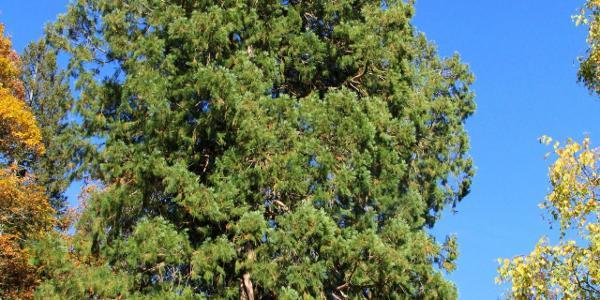 Sequoia (Mammutbaum)