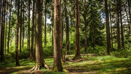 Bärlochkar Bannwald in Enzklösterle