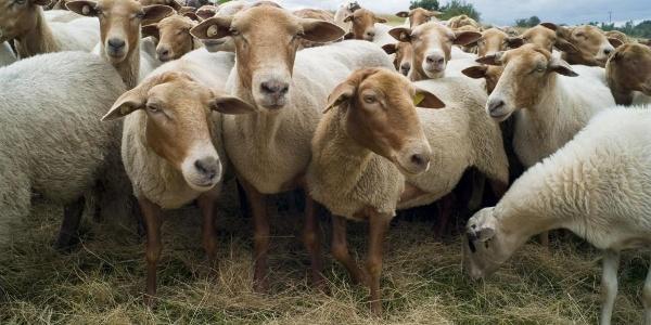 Schafe der Wacholderheiden