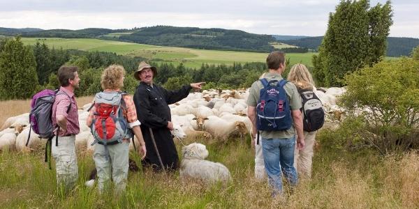 Schafe in den Wacholderheiden