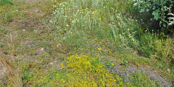 Sandstrohblume, Sandthymian, Mauerpfeffer