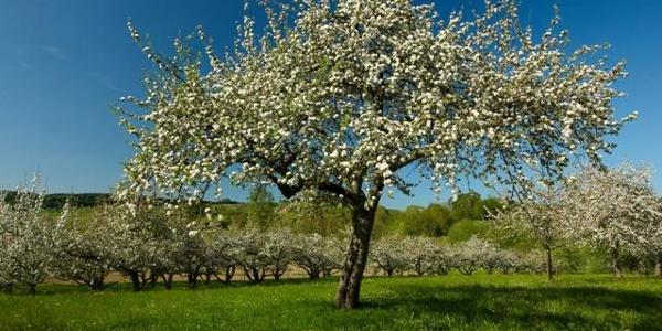 Frühling im Deggenhausertal mit Obstbaumblüte