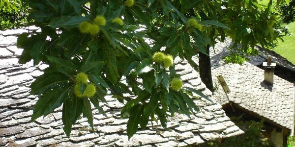 Kastanienbaum in Brentan