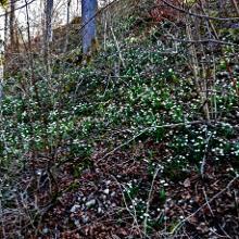 Märzenbecherblüte im Krebsbachtal