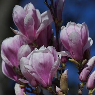 Die Magnolienblüte ist etwa letzte März, erste Aprilwoche