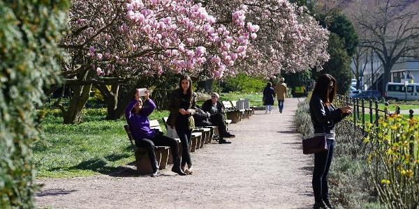 Der Magnolienhain in Aschaffenburg ist wohl der größte in Bayern