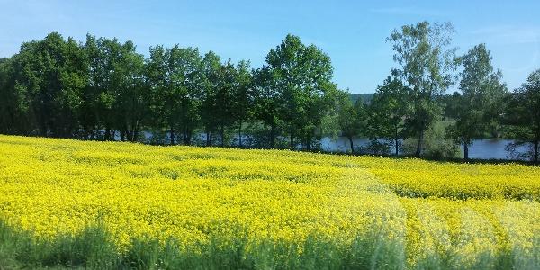 Blick vom Radweg auf die Elbe mit Rapsblüte