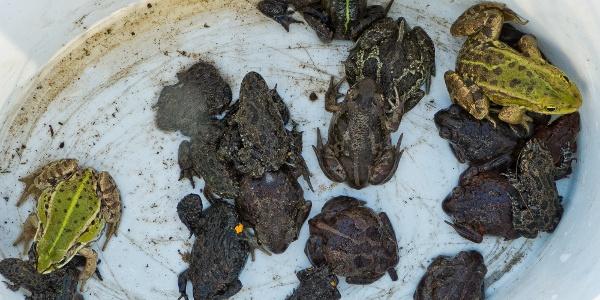 Amphibienzählung am Schutzzaun
