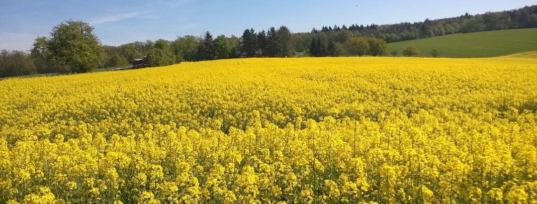 Gelb sind schon die Felder.