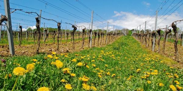 Weingärten bei Weidling