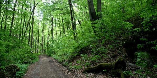 Bükkös a Kecskelyuk-barlanghoz vezető ösvényen