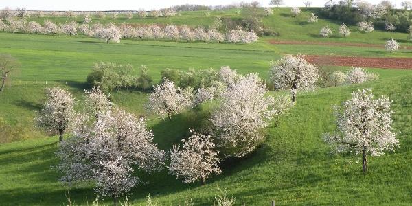Blühende Obstbäume im Jurapark Aargau