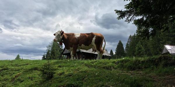 Kuh an den Schleifsteinhütten.