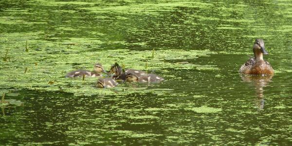 Neues Leben auf dem Teich - Enten