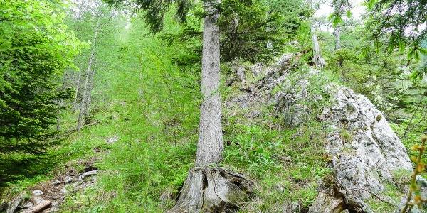 Aufstieg auf den Ochsenboden durch hellen Wald