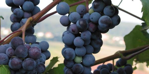 Die Lucullus-Tour führt durch Wein- & Obstgärten