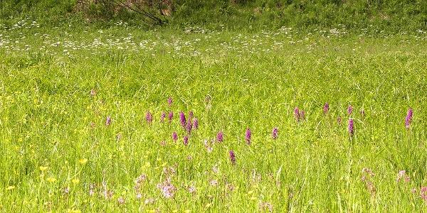 Im Frühjahr blühen seltene Orchideen im Veichltal = streng geschützt!