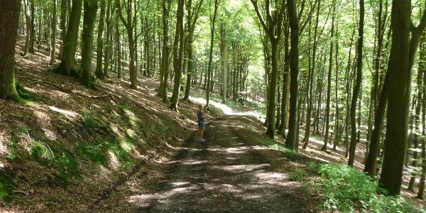 im Buchenwald oberhalb der SGV Hütte Eslohe