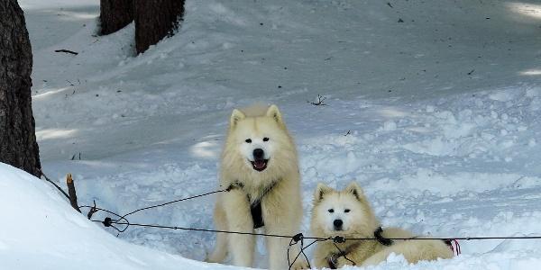 Schlittenhunde vor dem Restaurant Rhonequelle.