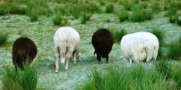 Schafe im Tiefenberger Moos bei Ofterschwang