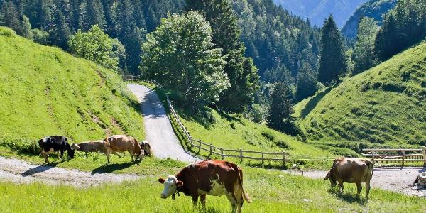 Cows grazing at Malga Trat