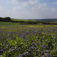 Fast Ende September gab es  dieses Blumenfeld noch am Radweg
