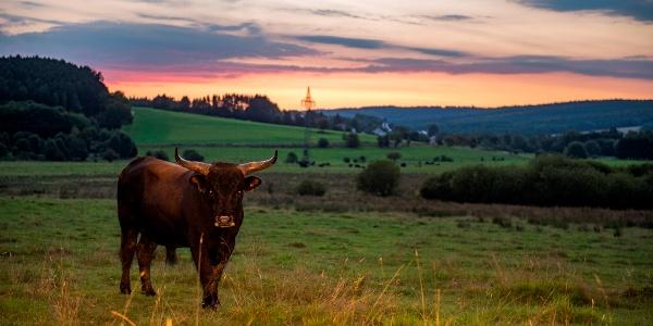 Taurusrinder sorgen für eine offene Bruchlandschaft