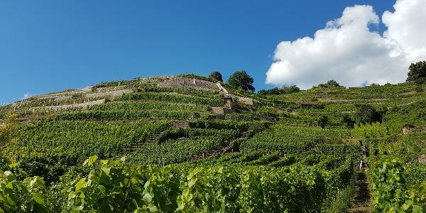 Weinberg Weingut Aust
