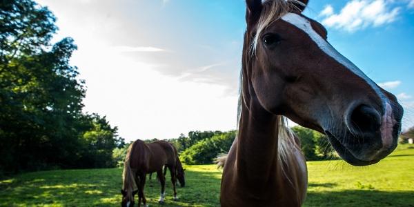 Legelésző lovak a zalai dombok között