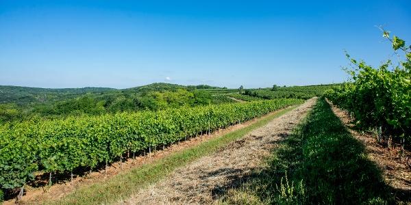 Szekszárdi dombok és szőlők között vezet a DDK útvonala