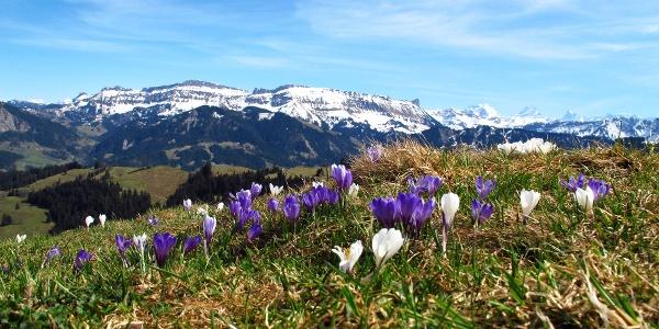 Krokusse auf Rämisgummen – Im Hintergrund die verschneite Schratteflue und Berner Alpen