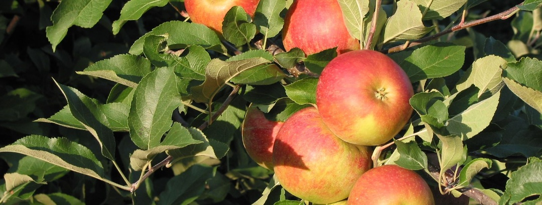 Steirische Äpfel