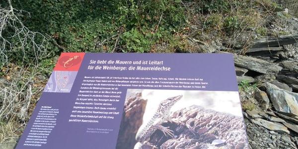 Station 7: die Mauereidechse liebt Riesling-Weinberge