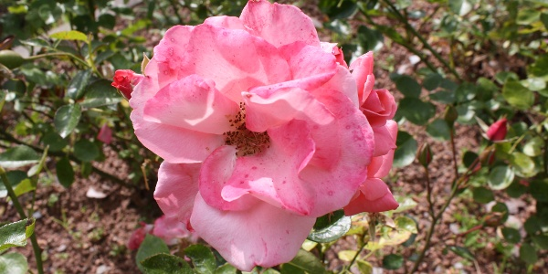 20 Rosenarten sind vertreten