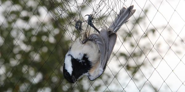 Uccellino nella rete