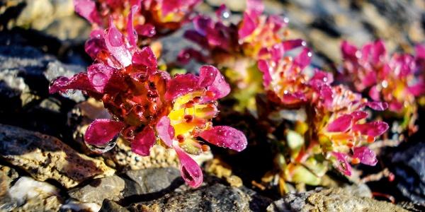 Blüten des Zweiblütigen Steinbrechs.