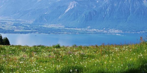 Narzissenwiese hoch über dem Genfersee.