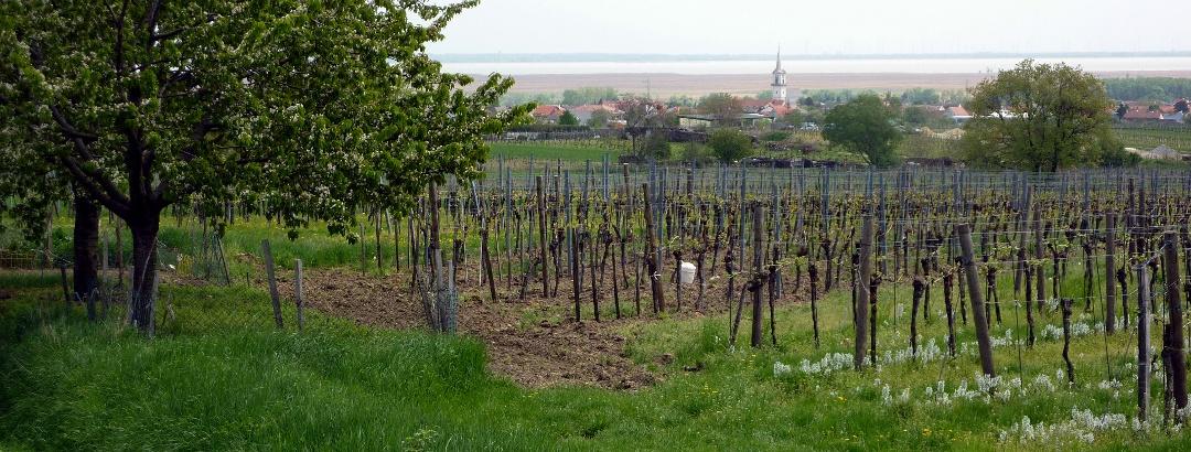 Blick über Purbach zum Neusiedler See