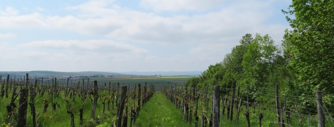 Auf dem Weingebirg bei Zabersdorf