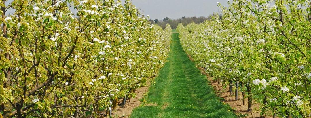 Obstplantagen bei Pillichsdorf