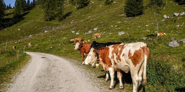 Kühe auf der Gotzental-Alm