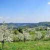 Kirschblüte am Hetzles