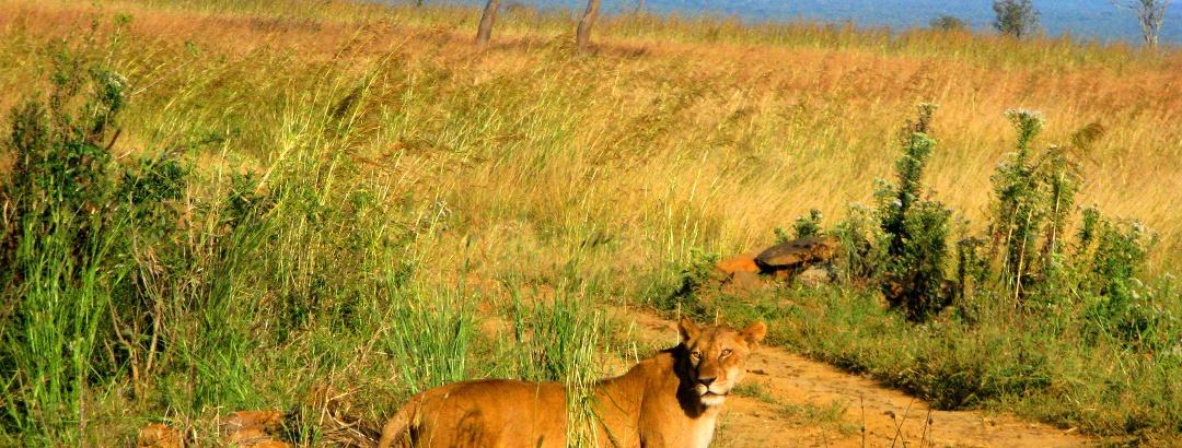 Löwe im Mikumi Nationalpark